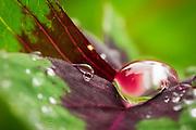 macro closeup of dew on clover