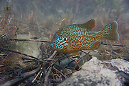 Pumpkinseed Sunfish<br />