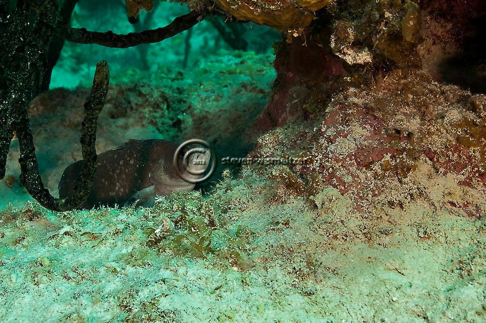 Greater Soapfish, Rypticus saponaceus (Bloch & Schneider, 1801), Grand Cayman