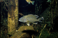 Green Sunfish<br />