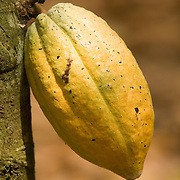 A ripe cocoa pod hangs from a tree on a farm in the town of Assin Adadientem, roughly 100km west of Ghana's capital Accra on Sat. January 21, 2007. The pods grow on the trunk of the tree - not its branches - and turn from green to yellow as they mature.