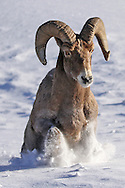 A three foot snowdrift hinders the travel of this bighorn ram near the east entrance of Yellowstone National Park in January. Bighorn sheep usually migrate from these snow-covered areas in late fall but this ram appears to have delayed the start of his journey. Better late than never!