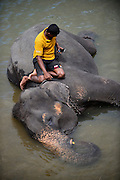 Keeper checking mobile phone while sitting on elephant, during river bath at Pinnawala Elephant Orphanage, Sabaragamuwa Province of Sri Lanka. <br />