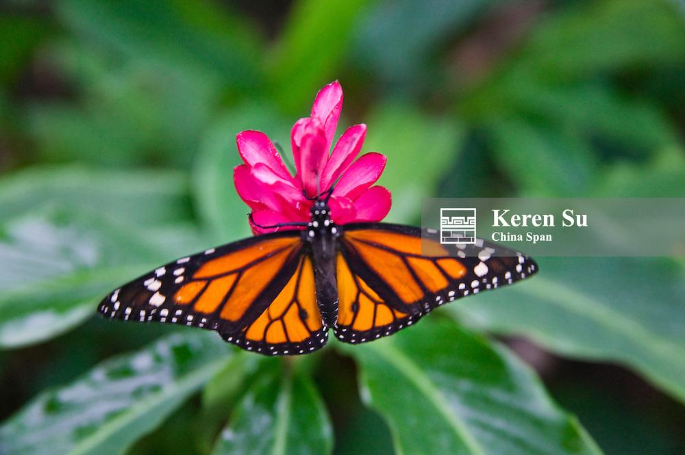Monarch (Danaus plexippus) butterfly, Panama