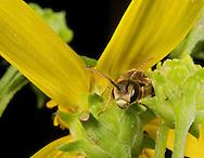 A male Sweat Bee (Halictid sp) rests in a Small Headed Sunflower (Helianthus microcephala)