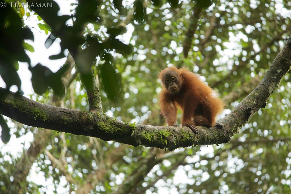 Bornean Orangutan <br />Wurmbii Sub-species<br />(Pongo pygmaeus wurmbii)<br /><br />Juvenile male &quot;Benny&quot; age approx 5.<br />Son of &quot;Beth&quot;<br /><br />Gunung Palung Orangutan Project<br />Cabang Panti Research Station<br />Gunung Palung National Park<br />West Kalimantan Province<br />Island of Borneo<br />Indonesia