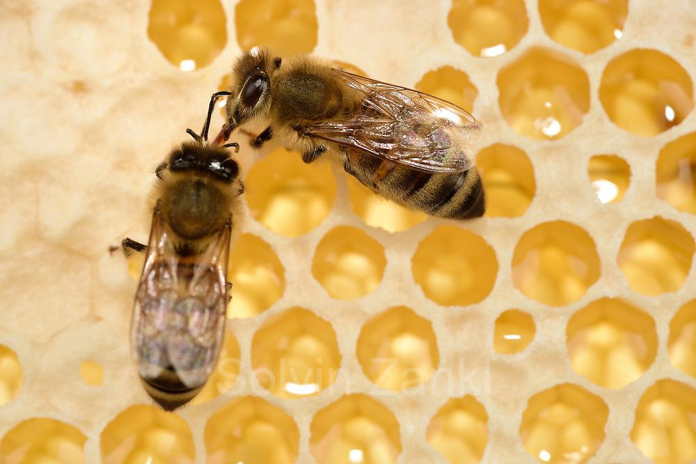 Honey bee (Apis mellifera), Kiel, Germany   Die Honigbiene (Apis mellifera) gibt den gesammelten Nektar an eine Schwester weiter, diese wird den Nektar eindicken und als Honig in den Zellen lagern.  Kiel, Deutschland