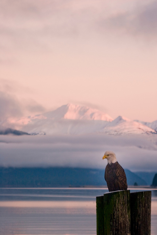 An eagle perches on the old Gustavus dock as a setting sun lights up mountains and fog in the background.