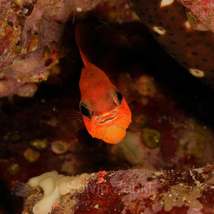 Cardinalfish or king of the mullets (Apogon imberbis) | Meerbarbenkönig (Apogon imberbis)