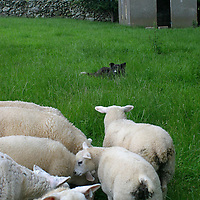 Europe, Ireland. A sheepdog watches his flock.