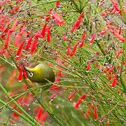 A Japanese white-eye (Zosterops japonicus), also known as a mejiro, twists to feed on flowers on the island of Maui, Hawai`i. The Japanese white-eye was introduced to Hawai`i from Japan in 1927 and rapdily spread to all the Hawaiian islands.