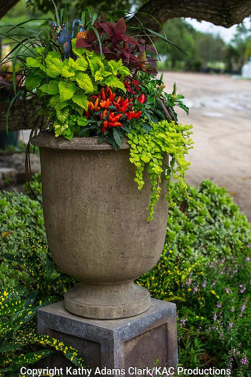 Container garden, peppers, coleus, creeping jenny, Garden, Houston, late summer, Texas.
