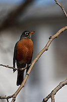 Robins are very curious and this one stopped in a nearby tree as I walked by...©2009, Sean Phillips.http://www.Sean-Phillips.com