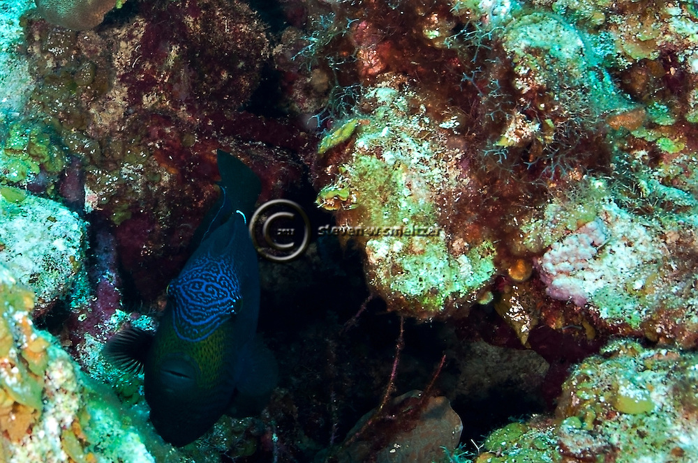 Black durgon, Melichthys niger<br /> (Bloch, 1786), Grand Cayman