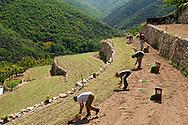 France, Languedoc Roussillon, Cévennes, Gard, culture d'oignons doux des Cévennes, repiquage, famille Patrick Journet, vallée de Taleyrac