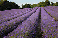 Hampshire Lavender Fields