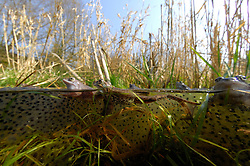 Moor Frog (Rana arvalis), mating | Moorfrosch (Rana arvalis)