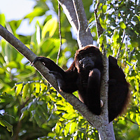 Central America, Costa Rica, Osa Peninsula. Howler Monkey in trees.