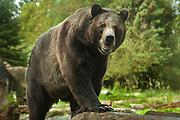 Grizzly Bear, Woodland Park Zoo, Seattle, Washington.