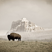 buffalo standing on hill chief mountain background waterton glacier international piece park