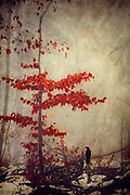 small tree with vivid red leaves on a misty winter day - textured photograph