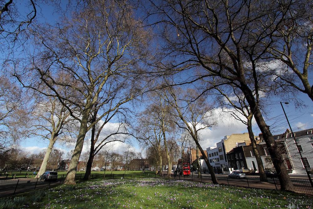 Spring Crocuses on Eel Brook Common in Parsons Green, London