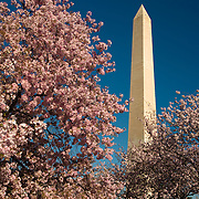 Washington Monument and cherry blossoms on the National Mall, Washington, DC
