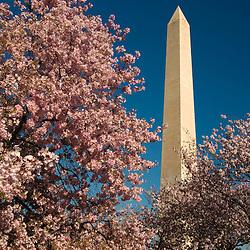 Washington Monument and cherry blossoms on the National Mall, Washington, DC