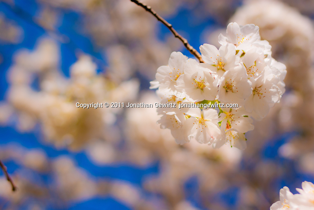 White cherry blossom flowers on a cherry tree branch. WATERMARKS WILL NOT APPEAR ON PRINTS OR LICENSED IMAGES.