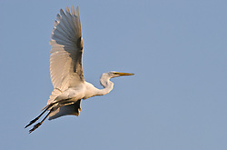 A great egret (Ardea alba) flys above the Gatorland alligator breeding marsh and bird sanctuary near Orlando, Florida. The bird sanctuary is the largest and most easily accessible wild wading bird rookery in east central Florida. Great egrets were hunted almost to extinction for its plumage, used by the fashion industry, in the 1800's. The Aududon Society was formed during this period to push for protection for the birds from the fashion industry.