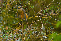 Crowned Guenon (Cercopithecus pogonias pogonias) male in the upper Caldera.  Endemic subspecies to Bioko Island and mainland Equatorial Guinea.
