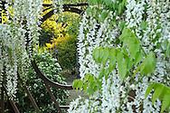 France, Languedoc Roussillon, Hérault, Assas, le jardin de Jean-Jacques Derboux, jardin d'inspiration japonaise, glycine japonaise, wisteria sinensis alba