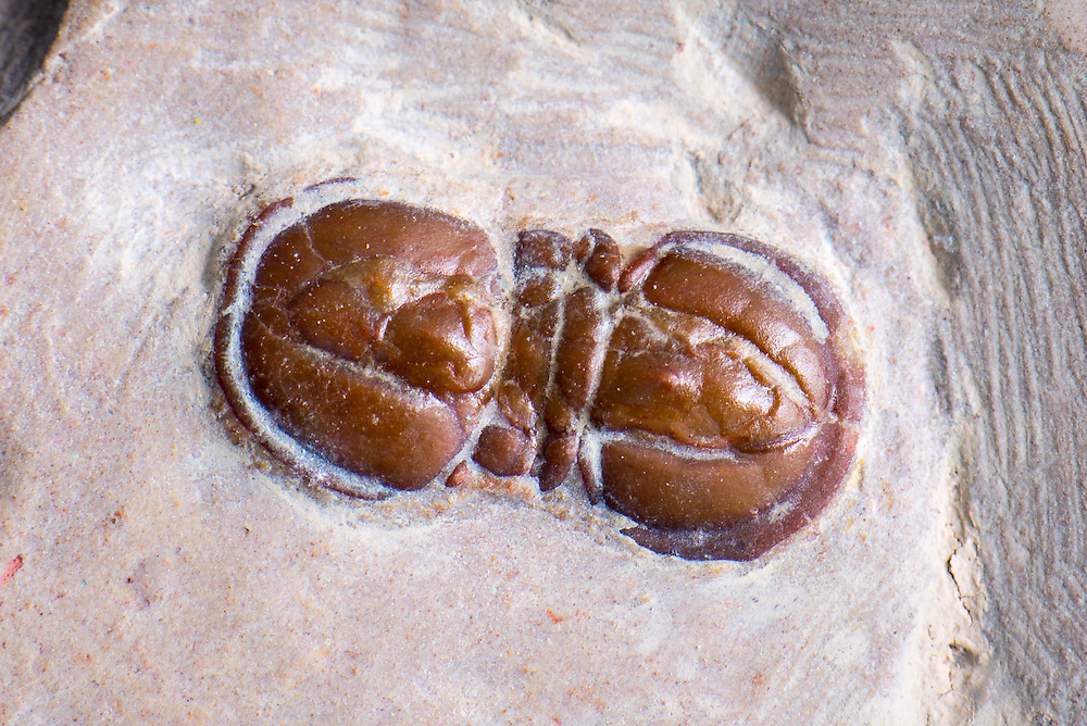 This is a well preserved death assemblage of one Elrathia kingii (sagittal length: 16mm) and four Peronopsis interstrictus (sagittal length: up to 8mm) from the Middle Cambrian of Utah.