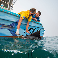 Researchers observing a Sailfish, Istiophorus platypterus, off the side of a boat, Kuala Rompin, South China Sea, Malaysia,