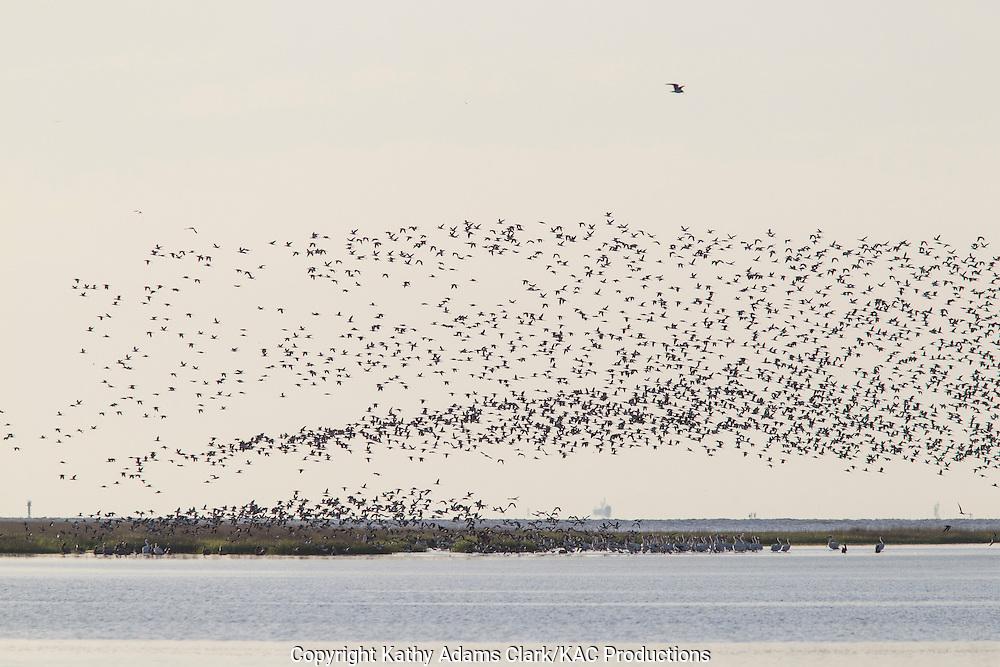 American avocet, Recurvirostra americana, large flock, rising above the marsh, Bolivar Flats, on the Texas Coast.
