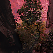 Lone tree between narrow canyon walls in Long Canyon, Grand Staircase National Monument, Utah.