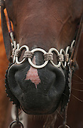 Horse belonging to a Pantanal cowboy 'Boiadeiro' in the Central Pantanal. The 'boiadeiros' often decorate their clothing and horses and tack with pieces of metal. <br /> Pantanal. Largest contiguous wetland system in the world. Mato Grosso do Sul Province. BRAZIL.  South America