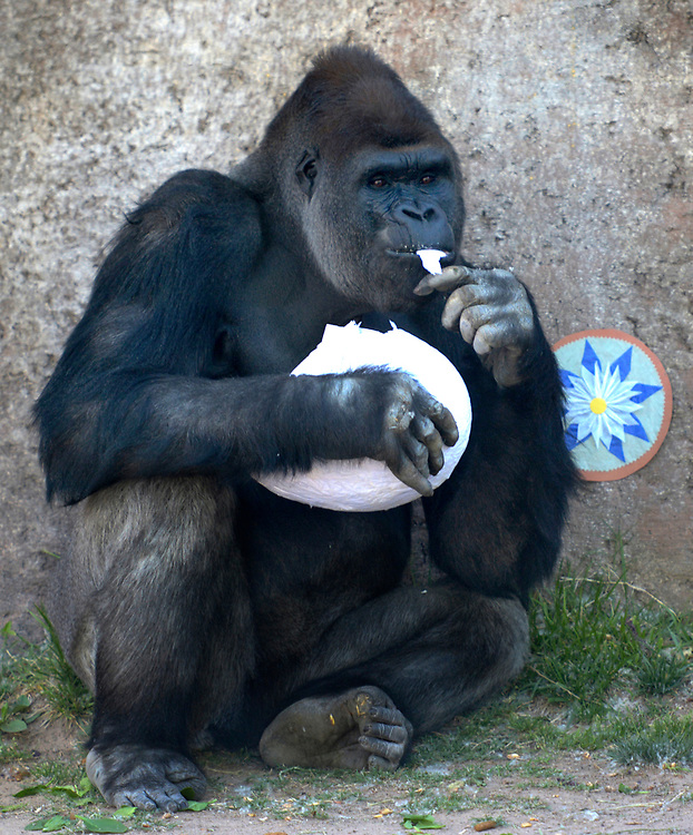 gbs041617d/ASEC -- A gorilla pulls out a tree from a paper mache egg during Spring Fling Enrichment at the ABQ BioPark Zoo on Sunday, April 16, 2017. (Greg Sorber/Albuquerque Journal)