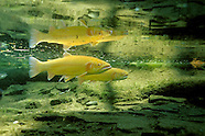 Golden Rainbow Trout, Underwater