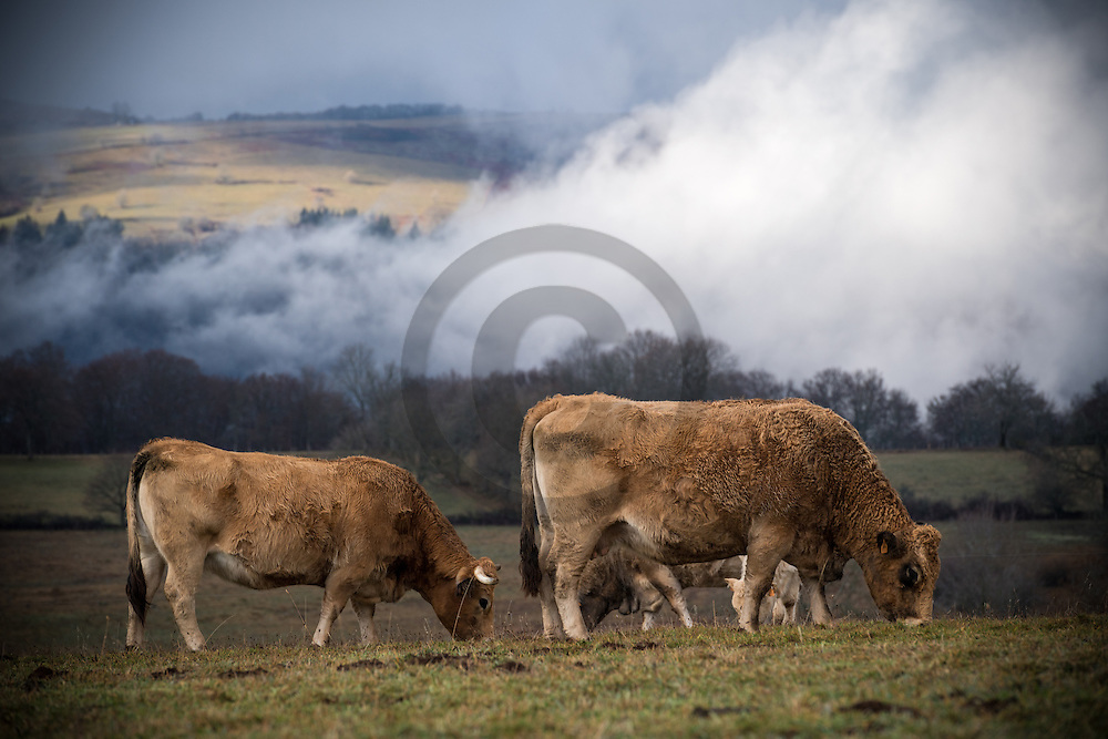 23/12/16 - BADAILHAC - CANTAL - FRANCE - Troupeau Aubrac sur les estives du Cantal - Photo Jerome CHABANNE