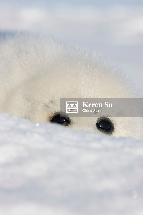 Harp seal pup, close up, Iles de la Madeleine, Quebec, Canada
