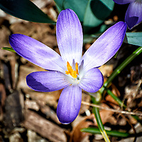 Purple Crocus Bloom. Backyard winter nature in New Jersey -- spring must be coming. Image taken with a Nikon 1 V1 camera and 30-110 mm VR lens (ISO 100, 110 mm, f/5.6, 1/320 sec).