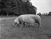 1958 Mr McElligott's Pigs at Leixliip