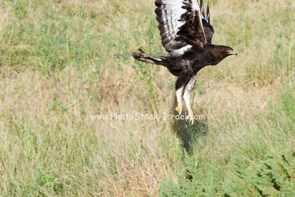 Africa, Kenya, lake naivasha Game Reserve, Martial Eagle, Polemaetus bellicosus, in flight