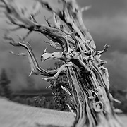 Bristlecone Pine - White Mountains, CA - Lensbaby