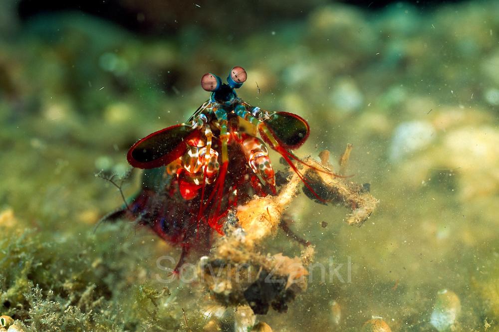 Die Tarnung dieser Krabbe half hier nichts: Unter dem Schlag des Bunten Fangschreckenkrebses (Odontodactylus scyllarus) fliegt sie - im wahrsten Sinne des Wortes - auf | Peacock mantis shrimp (Odontodactylus scyllarus)