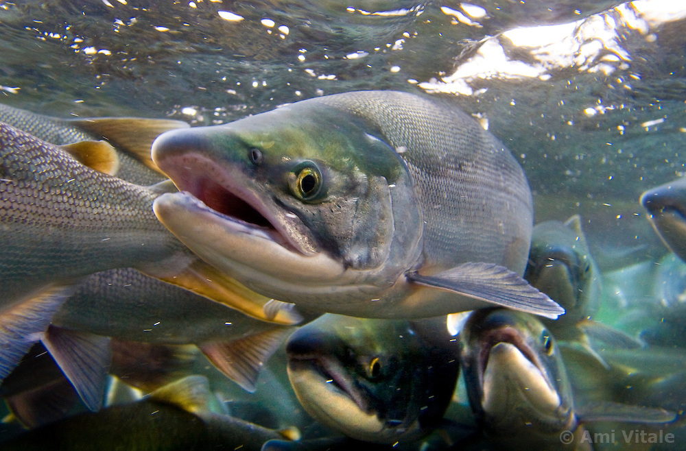 Sockeye salmon that are still grey in color because they just arrived from the sea to the fresh water of the river wait to enter into Kurilskoye Lake at a research institute fish counting gate in the southern tip of the Russian peninsula August 7, 2007. The salmon  are threatened as poachers are paid large sums in a depressed economy for the caviar.