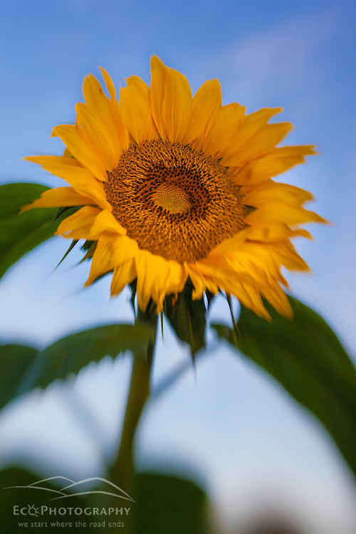 A sunflower in a Portsmouth, New Hampshire garden.