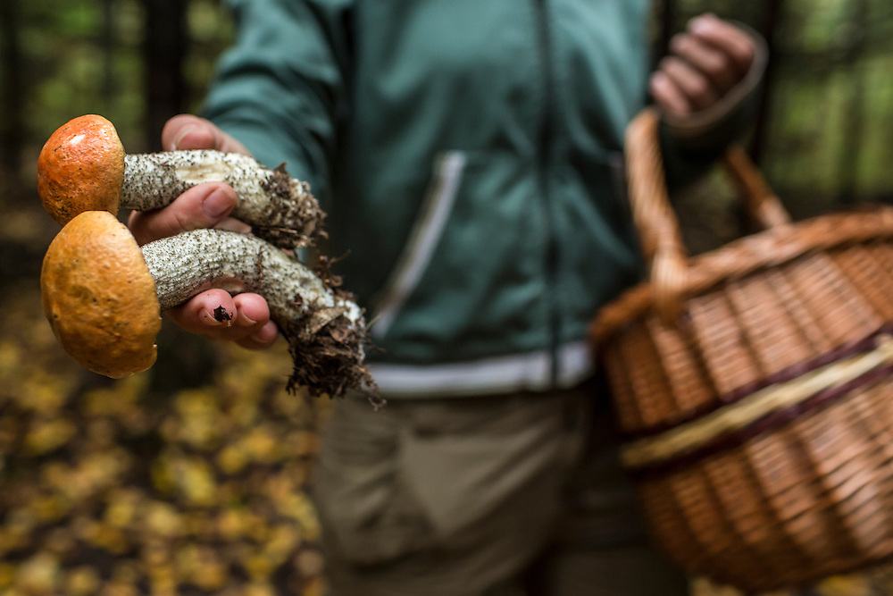 Julia Schelkunova holds two aspen mushrooms found in the forest on Saturday, August 24, 2013 in Suzdal, Russia.