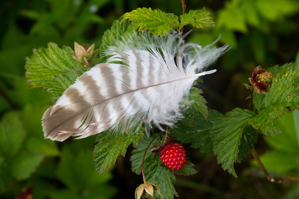 A feather rest delicately on a bright red salmonberry.